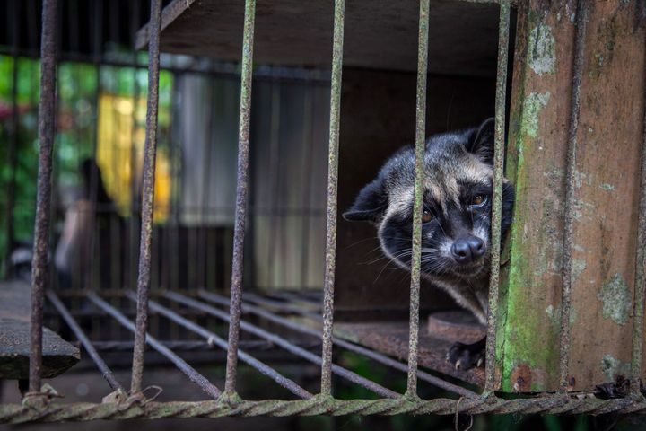 A captive civet, likely taken from the wild, looks out from a wire cage where it is kept to produce kopi luwak, the world's m