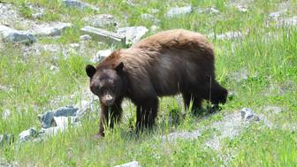A brown bear in Whistler, British Columbia, Canada on June 16, 2013. (Photo by Rick Friedman/Corbis via Getty Images)