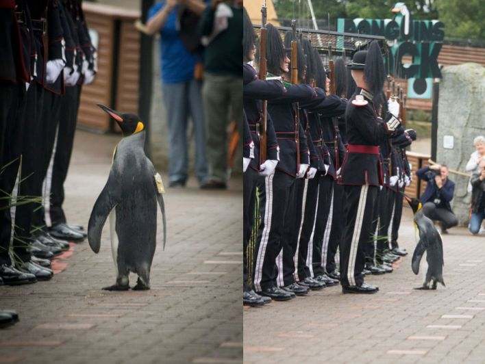 King penguin Brig. Sir Nils Olav, formally of the King of Norway's Guard, is seen inspecting the troops after being pro