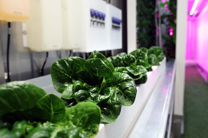 "Leafy greens grow in one of the freight containers Square Roots plans to use at its ""campuses."""