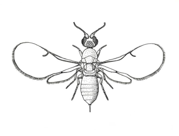 Drawing of a fig wasp.