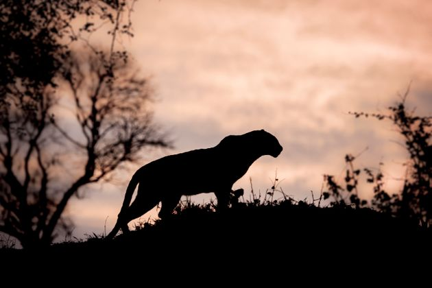 The warning urges villagers to look out for a large, cat-like animal that is 'black and larger than a...