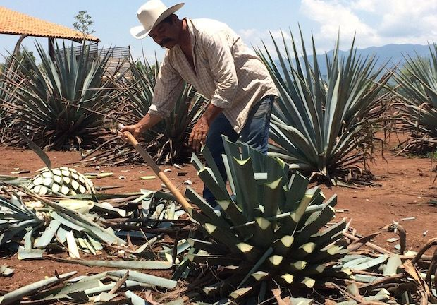 You can actually take a bite of the agave plant used to make tequila, during tours of the Jose Cuervo facility in the town of