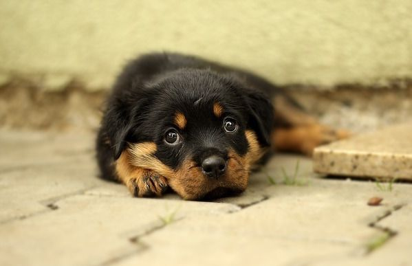 Purebred puppies for sale are often inbred and have health problems later in life.