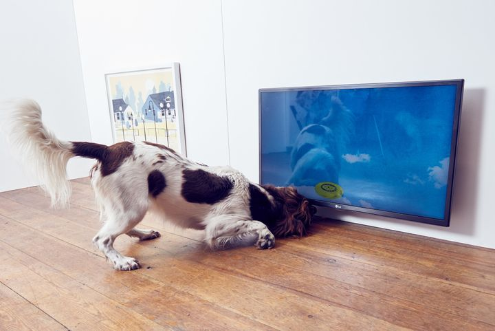 "A springer spaniel with ""Catch,"" a multimedia installation that simulates a frisbee bouncing around a screen desi"
