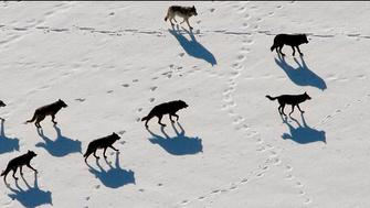 Gray wolves are seen nearing a Bison in Yellowstone National Park in this undated handout photograph released on February 21, 2008. Gray wolves in the northern Rocky Mountains, listed as endangered for more than three decades, no longer need protection under the Endangered Species Act, the U.S. government said. Environmental groups disagreed, saying the species has not fully recovered and vowed to sue to continue to protect wolves from hunting and other methods of killing that the groups said would likely follow the government's move. REUTERS/Canon USA/Handout (UNITED STATES).  EDITORIAL USE ONLY. NOT FOR SALE FOR MARKETING OR ADVERTISING CAMPAIGNS.