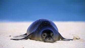 PA115-1 Hawaiian Monk Seal. Monachus schauinslandi. On sand, endangered. Midway atoll. NW Hawaiian Island. H 116912
