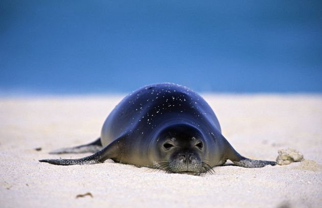 An endangered Hawaiian monk seal lounges on Midway Atoll, in the Northwest Hawaii
