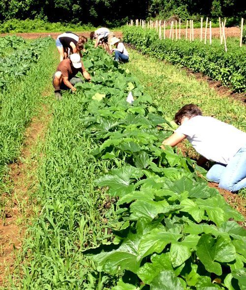 Volunteers working the fields at Carversville Farm Foundation, Carversville, PA