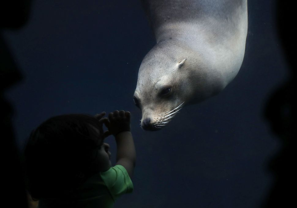 Eighteen-month-old visitor Jose Tavarez of Dover, Delaware, watches a California sea lion at the Smithsonian National Zoologi