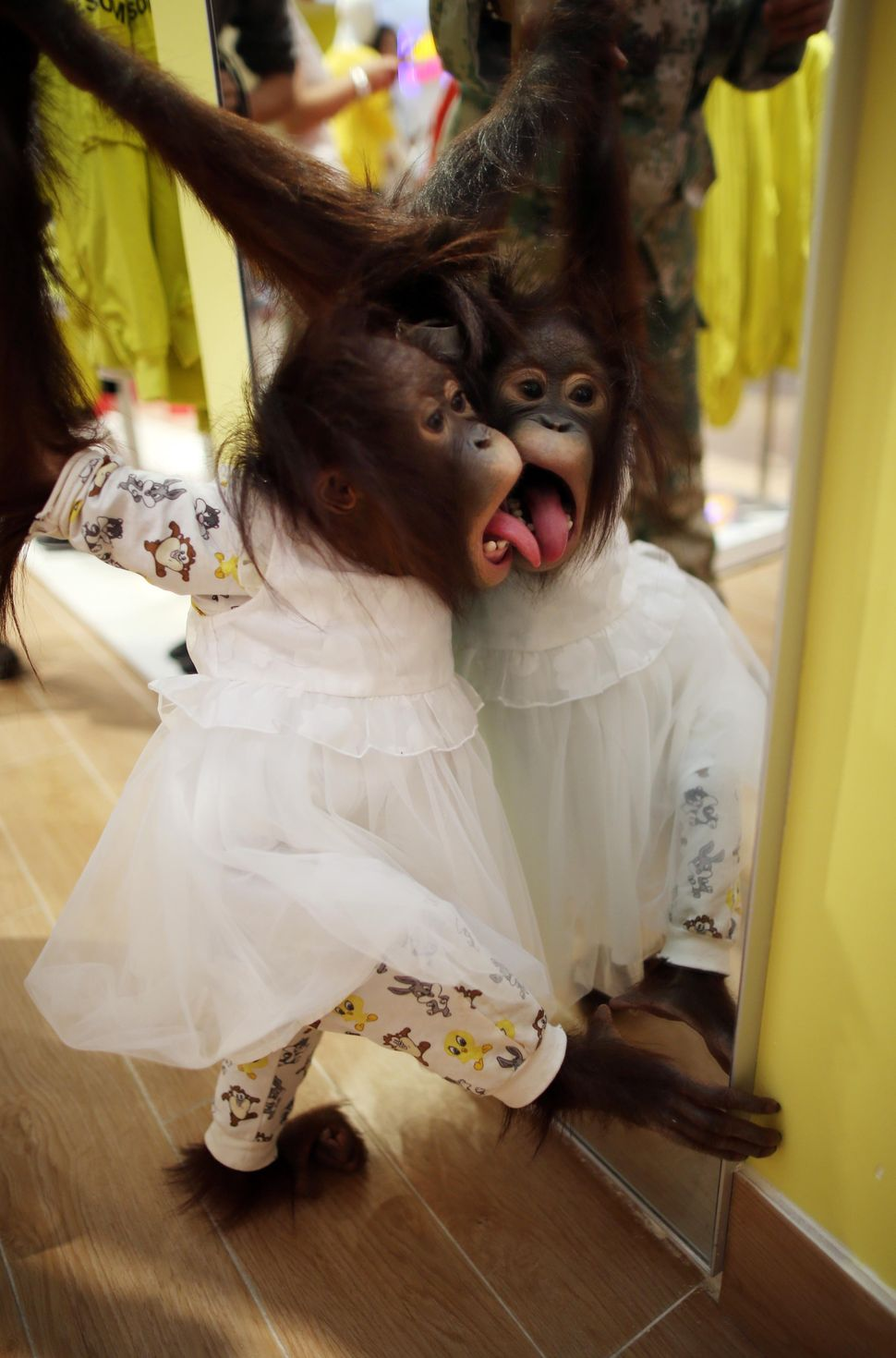 Famous red-haired orangutan Er Mao of Yunnan Wild Animals Park wearing a skirt licks the mirror at a shopping mall in Kunming