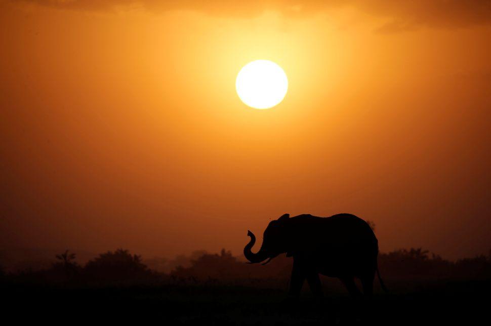 An elephant walks during sunset in Amboseli National park in Kenya. (Aug.25, 2016)