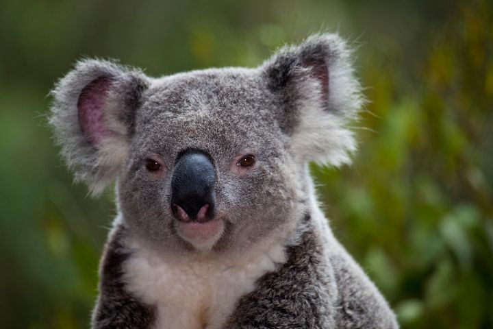 Up to 200 Koalas could go extinct due to the planned construction of a highway.