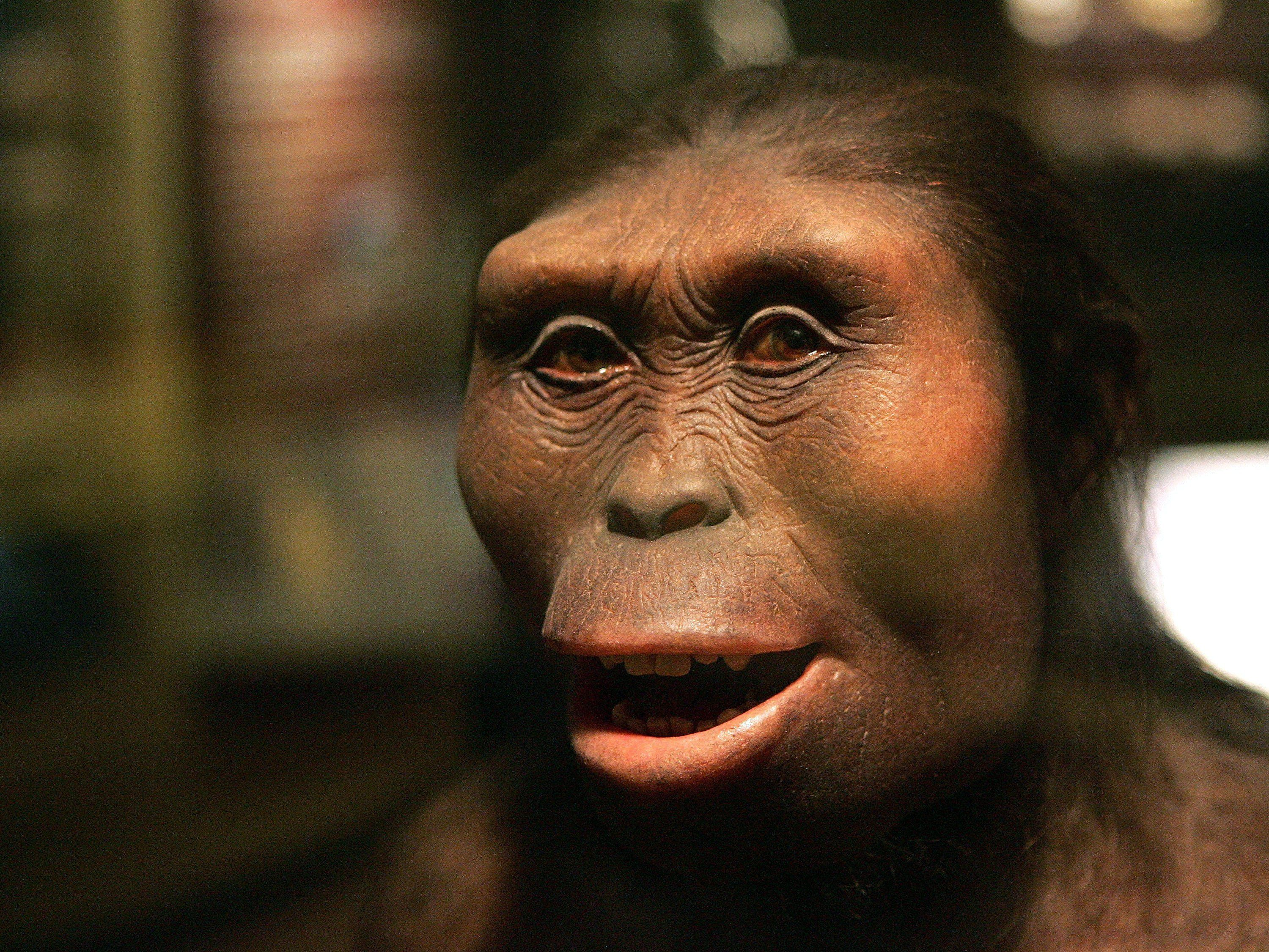 CHICAGO - MARCH 07:  The face of 'Lucy,' an Australopithecus afarensis and part of the 'Evolving Planet' exhibit, is displayed at the Field Museum March 7, 2006 in Chicago, Illinois. The new exhibit, which opens to the public March 10, presents the evolution of life, taking a visitor through a four-billion-year journey.  (Photo by Tim Boyle/Getty Images)