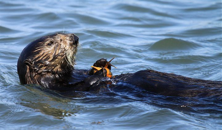 At least three sea otters in California have been found shot.