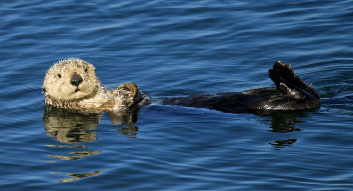 Sea otters are protected under theMarine Mammal Protection Act and California law.
