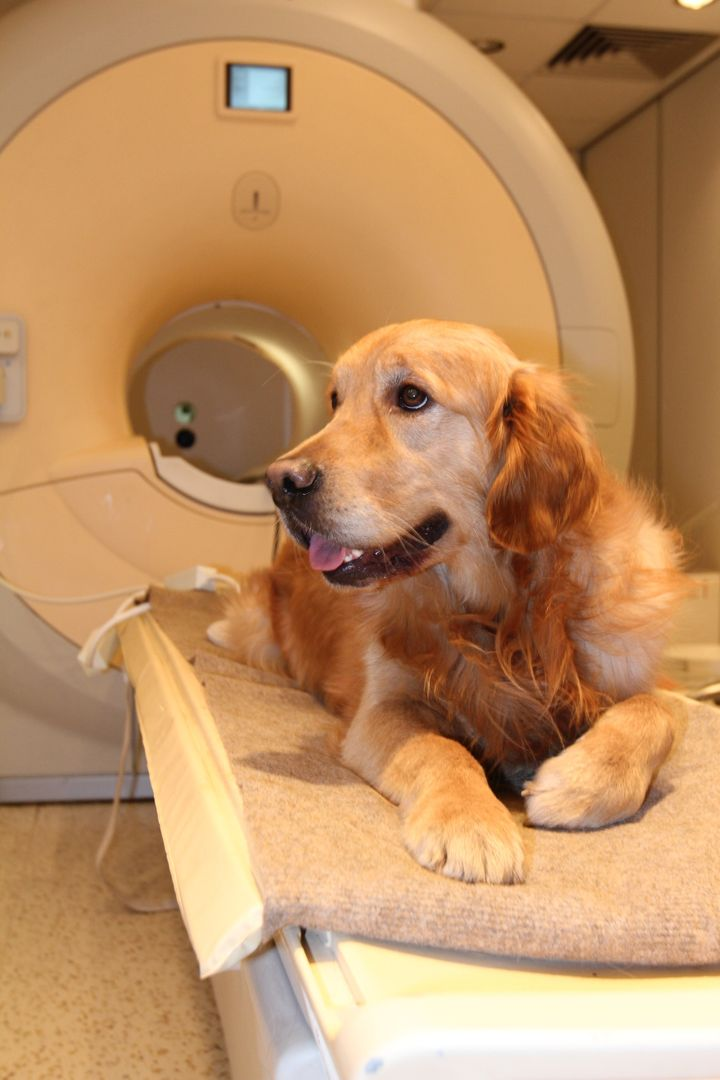 A golden retriever hanging out on the scanner bed.