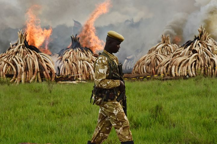 A Kenya Wildlife Services ranger stands guard around stockpiles of illegally taken elephant tusks that are now being burned.