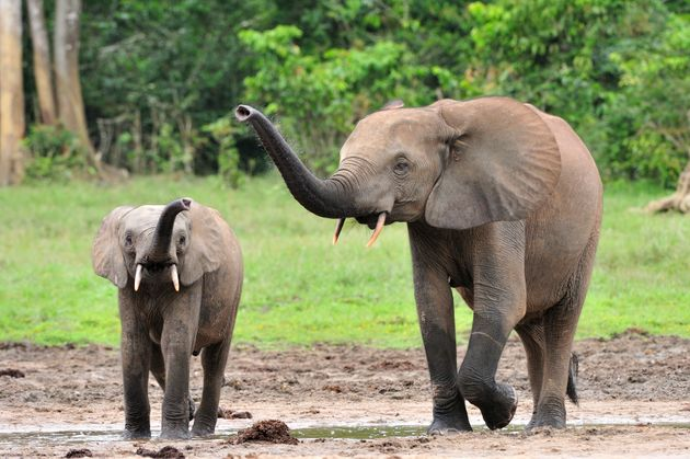 A forest elephant calf and cow at a Dzanga forest clearing in the Central African