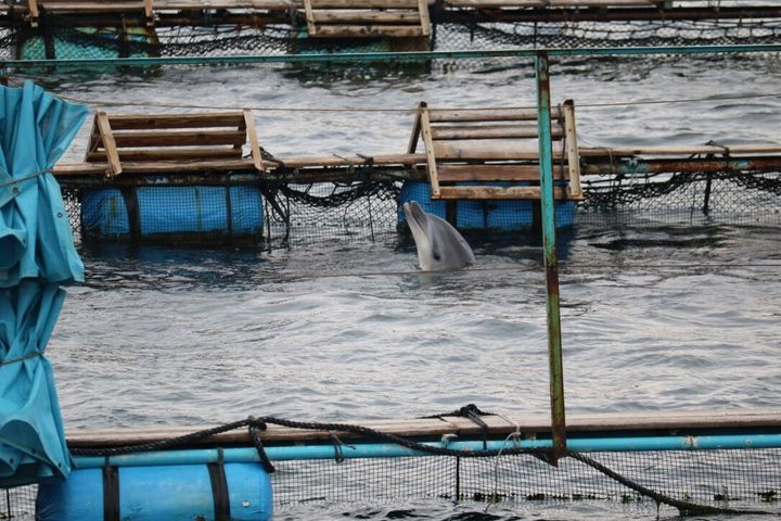 Freshly caught wild bottlenose dolphin spyhopping in sea pen in Taiji, Japan, 2-11-16
