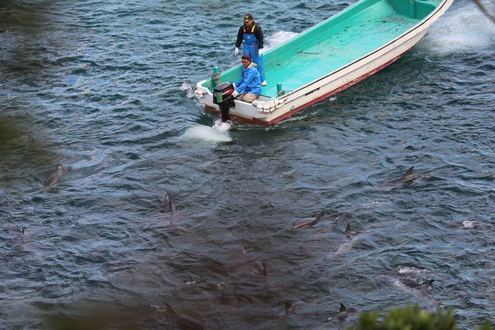 Slaughter of striped dolphins, Taiji, Japan, 1-26-16