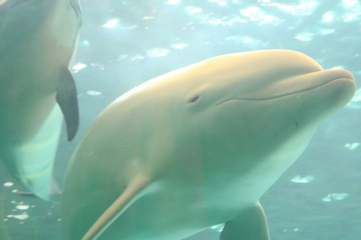 Albino dolphin Angel & Pacific white-sided dolphin at the Taiji Whale Museum, 1-3-16