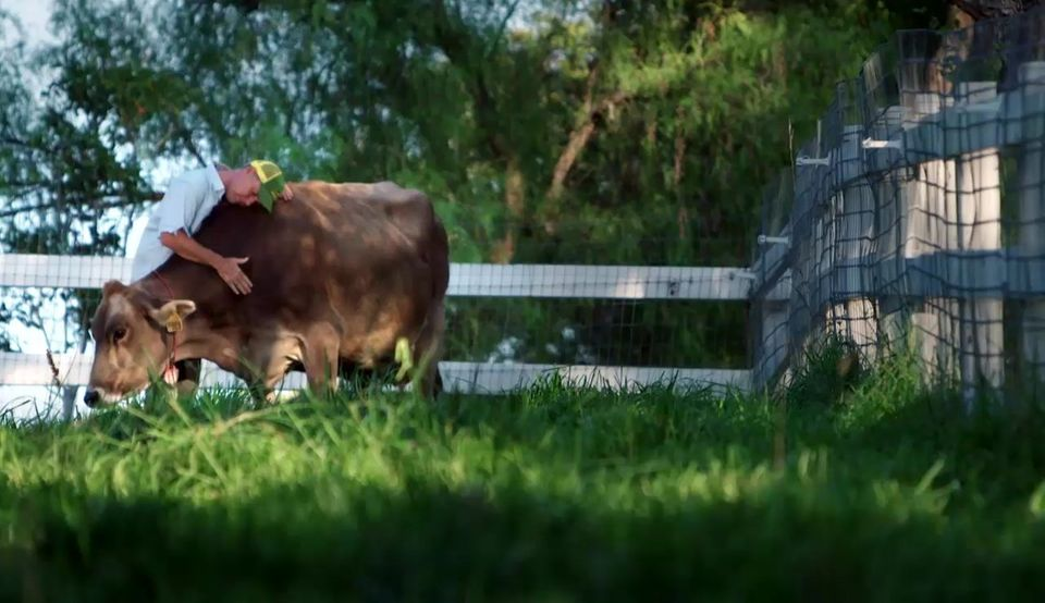 On Apricot Lane Farms, Maggie the Brown Swiss dairy cow was one of farmer John Chester's favorite animals. So, her recent pre