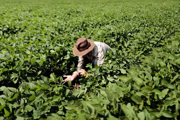 Farmer Rudelvi Bombarda checks his soybean crops for damaging caterpillars in Barreiras, Bahia state, February 6, 2014.
