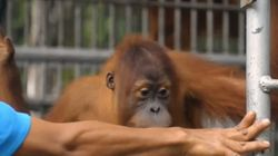 Orphaned Orangutan's Story Shows Why We Need Responsible Palm Oil