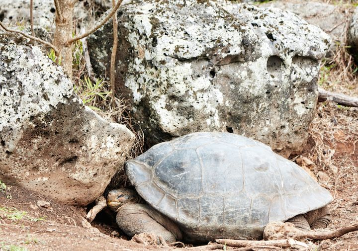 A Galapagos tortoise greets participants at the UNESCO Third World Heritage Marine Managers Conference
