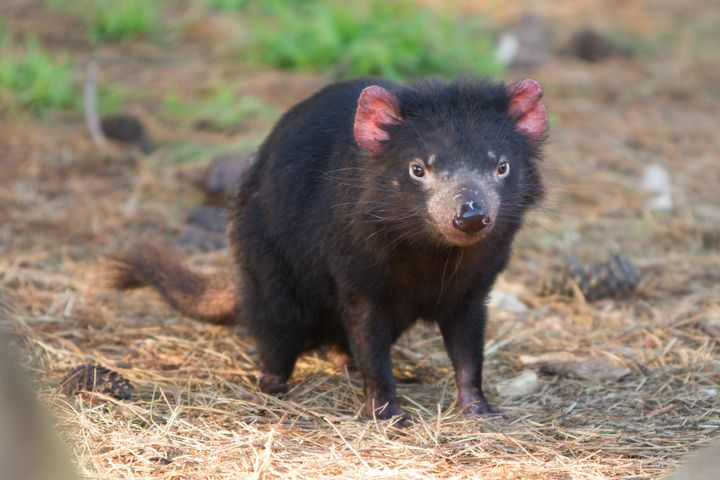 Tasmanian devils may be rapidly evolving to resist a deadly cancer huffpost - Tasmanian devil pics ...