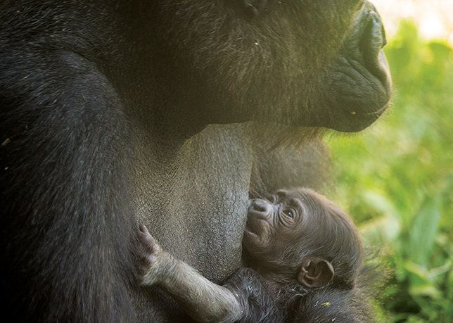 The young, unnamed gorilla in a photo from the Philadelphia Zoo.
