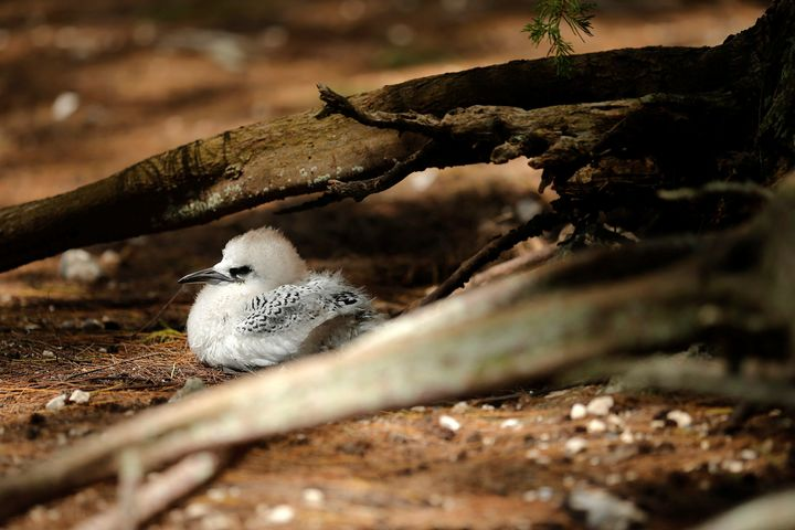 A Tropicbird chick nests on the ground, where President Barack Obama and his golf car motorcade passed on a visit to Papahana