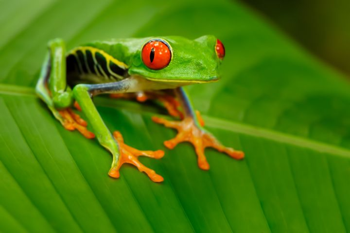Costa Rica's red-eyed tree frogs are agile climbers and very photogenic!
