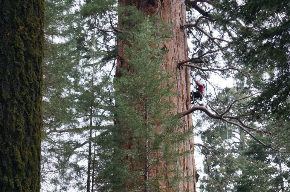 Jake Milarch climbs a giant redwood.