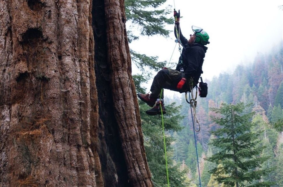 """Jake Milarch climbs the """"Stagg"""" giant sequoia in the Sierra Nevada mountains. The Stagg is believed to be over 3,000 years ol"""