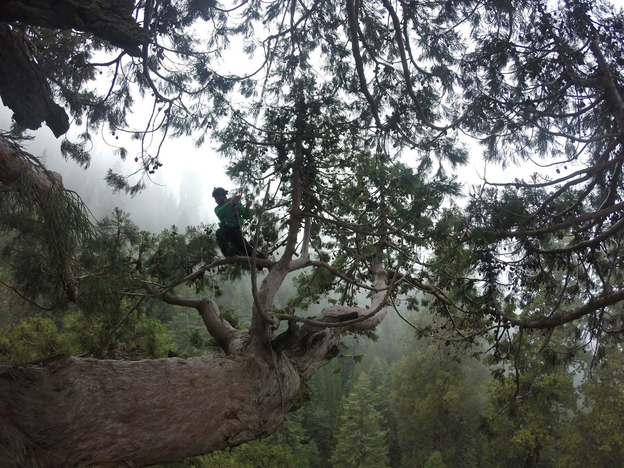 Jake Milarch collects clippings from the top of a sequoia.