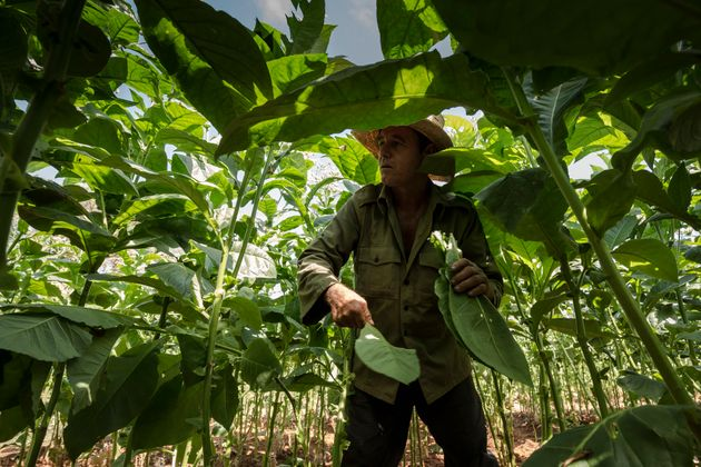 A farmer tending tobacco leaves in the picturesque Viñales
