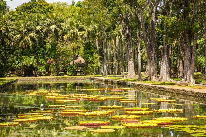 Yellow lilies in the still waters of Ramgoolam Botanical Gardens.