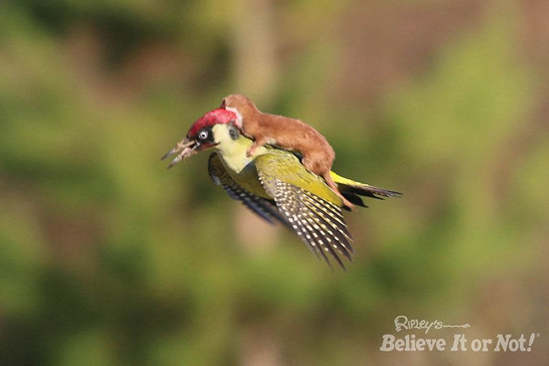 No, the woodpecker is not giving this weasel a ride. The weasel is actually attacking the bird at Hornchurch Country Park in