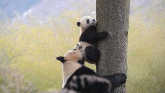 Giant panda Ximei plays with her one-year-old cub as it climbs a tree at Hetaoping Research and Conservation Center in Wolong, Sichuan province, January 27, 2016. REUTERS/China Daily ATTENTION EDITORS - THIS PICTURE WAS PROVIDED BY A THIRD PARTY. THIS PICTURE IS DISTRIBUTED EXACTLY AS RECEIVED BY REUTERS, AS A SERVICE TO CLIENTS. CHINA OUT. NO COMMERCIAL OR EDITORIAL SALES IN CHINA.