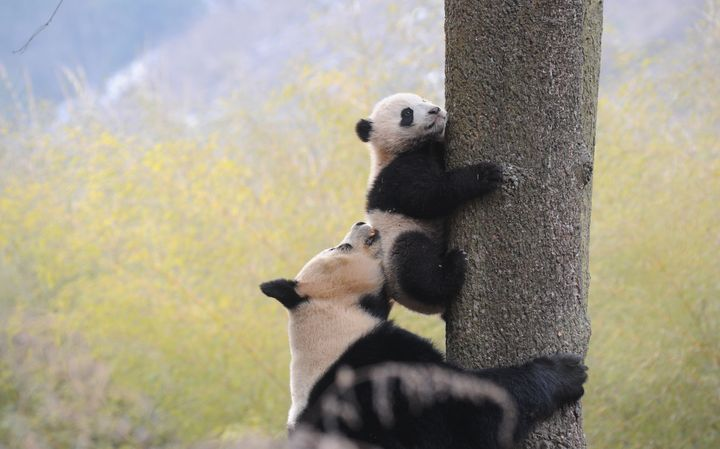 Giant panda conversation efforts have paid off.