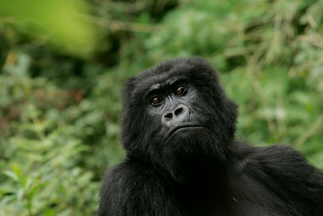 The Eastern Gorilla Is Just One Step From