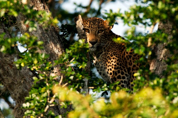 The Sri Lankan leopard is listed as endangered by the International Union for Conservation of nature.
