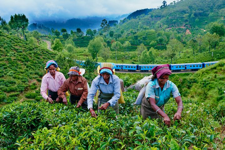Sri Lankan women picking tea as the train to Ella trundles by.