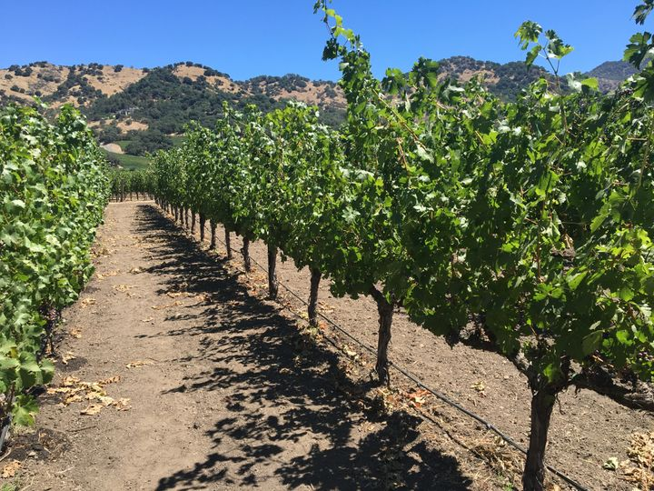 <p>The vineyards at Cliff Lede, Stag's Leap, Napa</p>