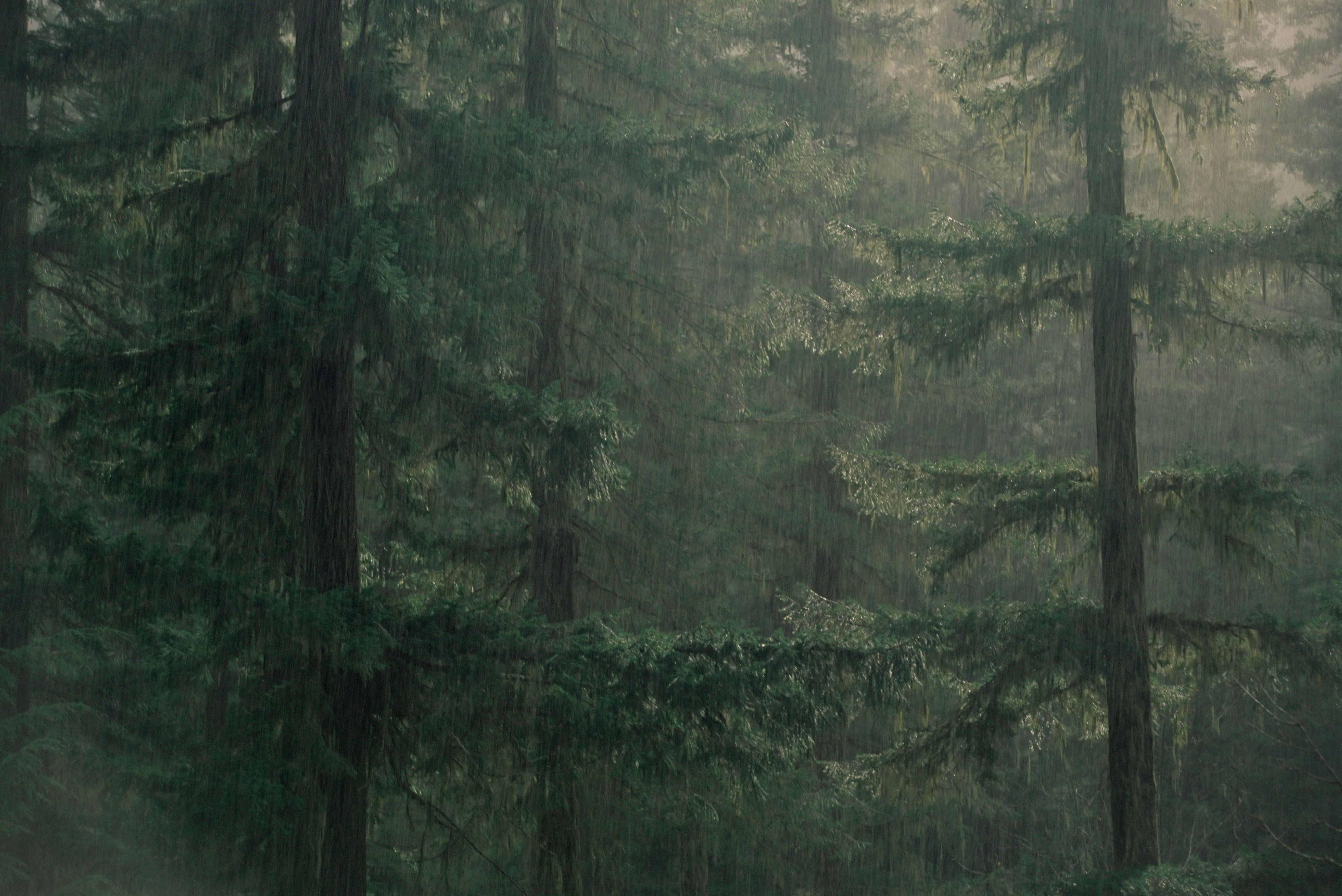 Fir trees in rain, Oregon, United States of America, North America