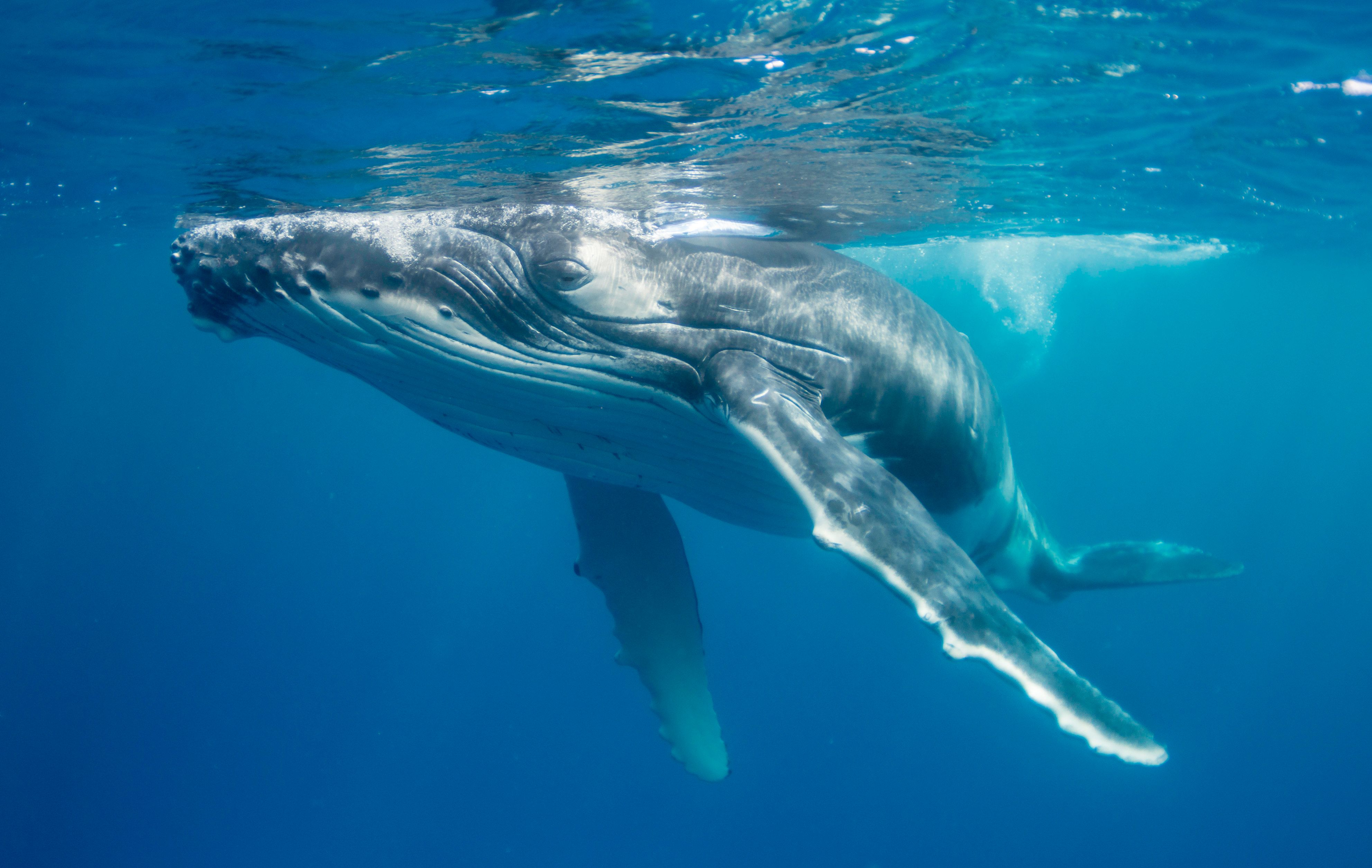 A baby humpback whale plays on the surface after coming up to breath, as it's mother keeps a close eye on things from below.