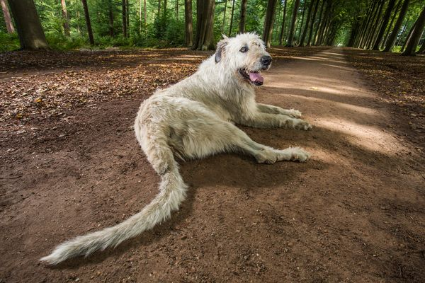 Keon, a dog owned by Ilse Loodts of Westerlo, Belgium, has a tail measuring 30.2 inches.