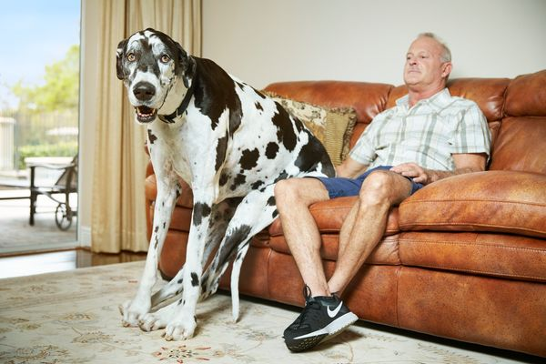 The tallest female dog living is Lizzy of Alva, Florida, who measures 37.96 inches in height. She lives with her owner Greg S